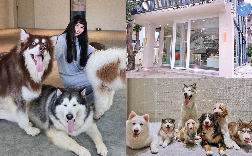 8隻巨型狗狗當店長!台中網美級「寵物咖啡廳」雪橇犬、哈士奇熱情迎客