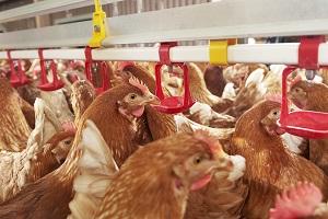 新藥上路穩食安 蛋農消費者創雙贏
