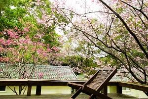 春天住力麗賞櫻泡湯 還能自己種櫻花