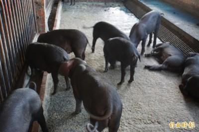 一級嘴砲》禁止廚餘養豬的第二步