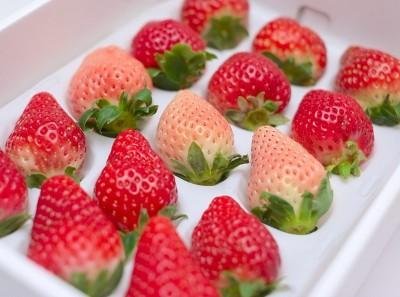 一級嘴砲》栃木縣農業試驗場草莓研究所