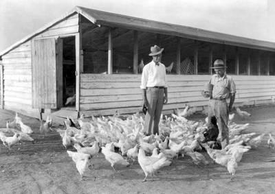 鬼王來鬼扯》原來長輩傳說中的生長激素白肉雞還得感謝第二次世界大戰(下)